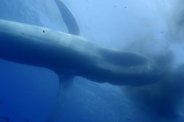Blue_whale_3[1]