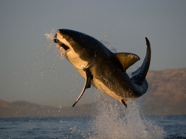 shark-breaching-picture